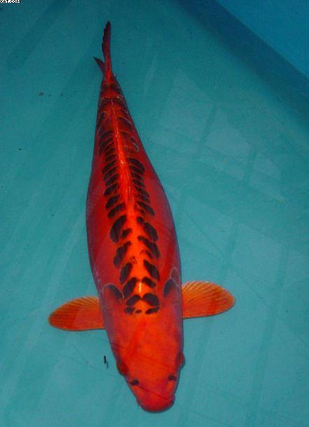 Koi carp from koi water garden ltd images from japan for Koi warehouse sale