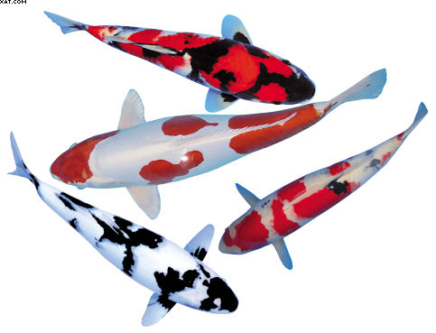 Top quality japanese koi carp at sensible prices for High grade koi for sale